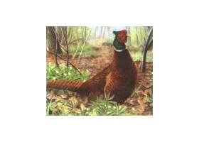 Terč Pheasant
