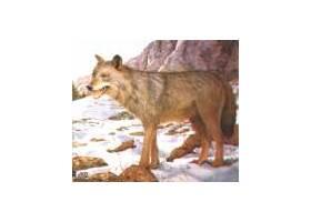 Wolf target